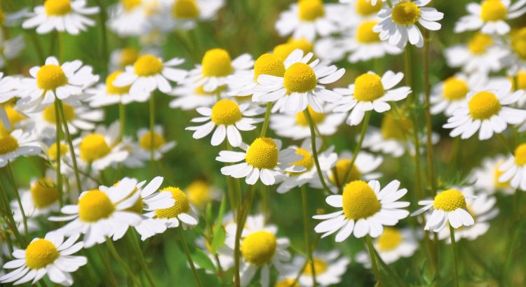 crystal clear photo of white yellow chamomile flowers with depth focus