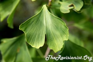 close up gingko biloba green 2 petal joined