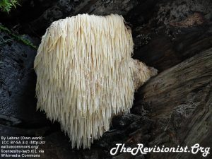 Lion's Mane Mushroom white pearl color in the shape of a 7 inch long thick beard