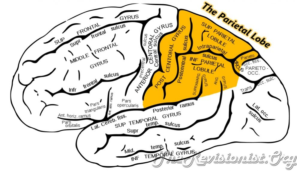 parietal lobe highlighted in yellow