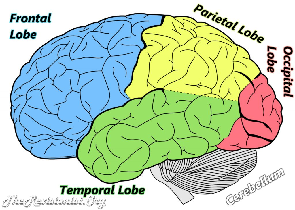 Different Functions Of The Brain By Anatomy The Revisionist