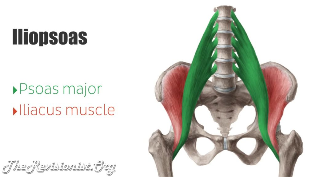 iliopsoas, Psoas major, iliacus muscle diagram