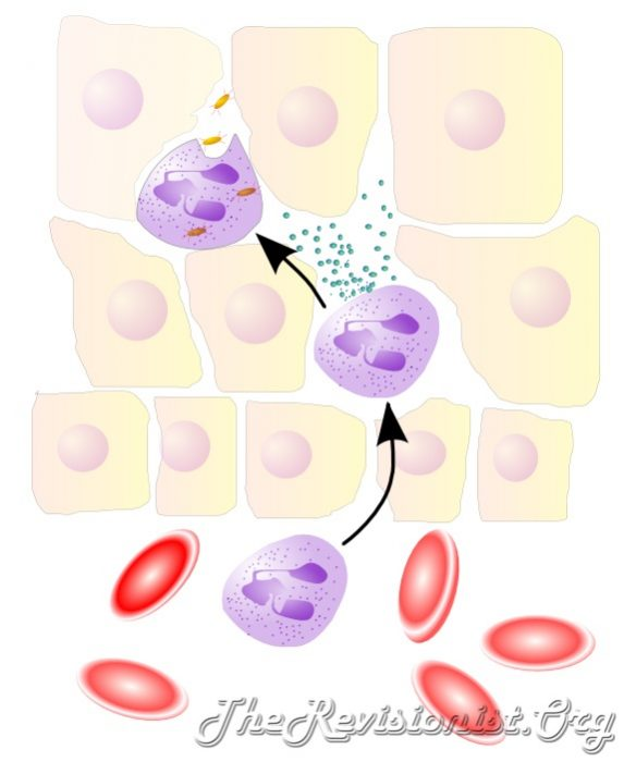 diagram showing leukocyte extravasation