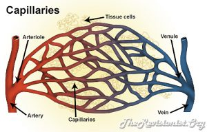 diagram showing capillaries, artery, arteriole, vein, venule
