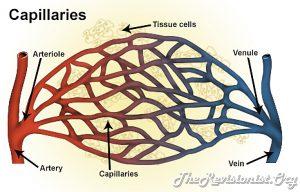diagram showing capillaries, artery, arteriole, vein, venule