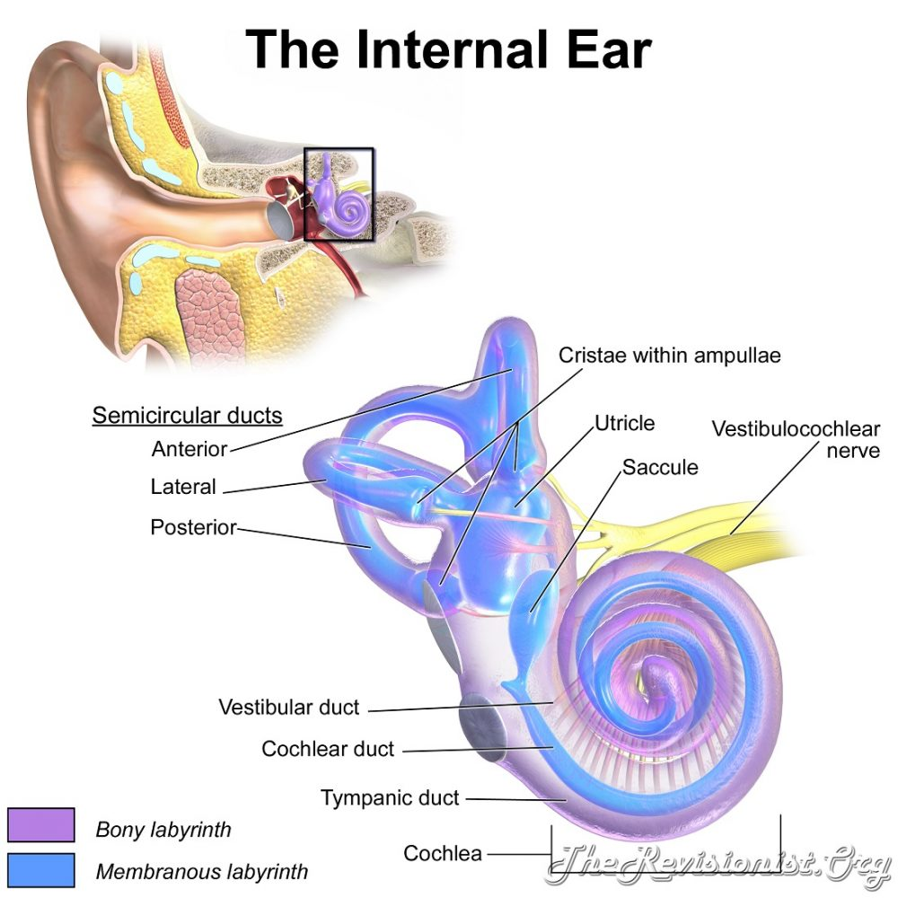 Anatomy of the Internal Ear - The Revisionist