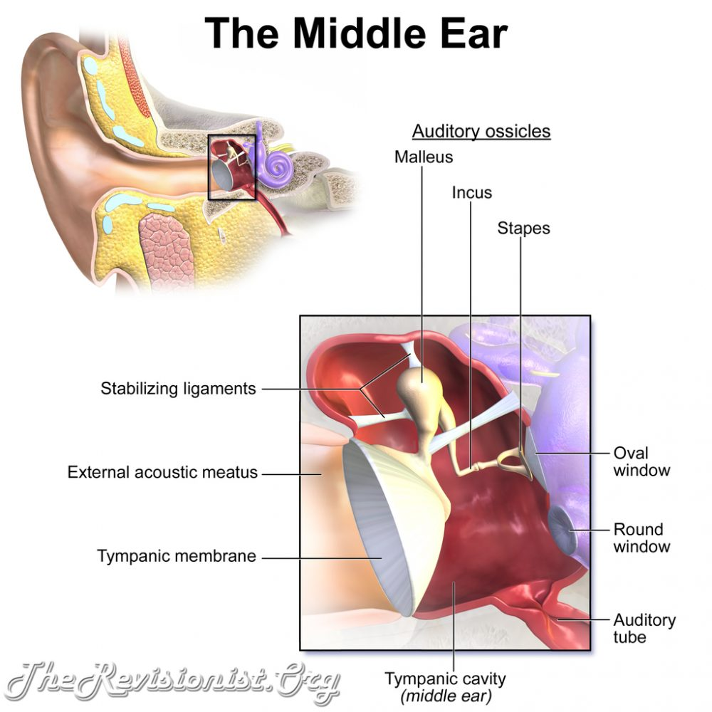 Blausen middle Ear Anatomy - The Revisionist