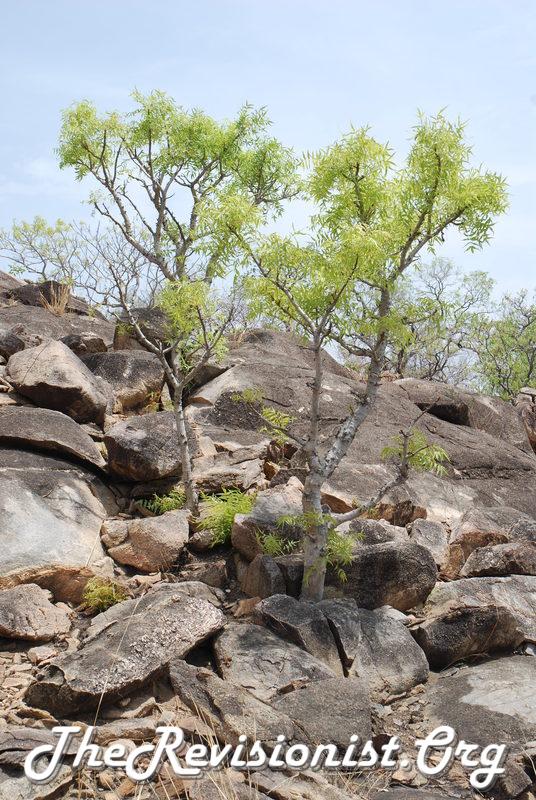 Boswellia dalzielii Tree