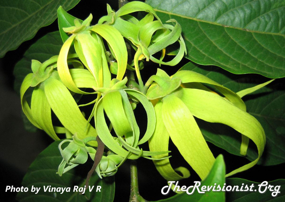Ylang Ylang flower bunch